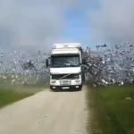 Camión cargado con palomas mensajeras