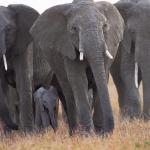 Un grupo de cincuenta elefantes borrachos arrasa una aldea en la India después de ingerir 500 litros de alcohol