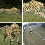 La carrera de un guepardo, el corredor más veloz del mundo, vista a cámara super lenta
