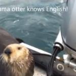 Una nutria se sube a un barco para escapar de unas orcas y se da cuenta de que dejó atrás a su bebé