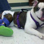 Un perro con parálisis desde que era un cachorro finalmente logra caminar por primera vez en su vida