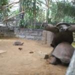 Una tortuga gigante empuja a otra hasta que consigue darle la vuelta