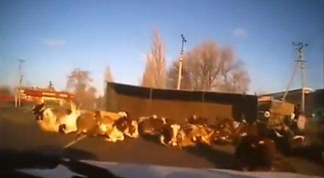 Un camión cargado de vacas tiene un accidente en una carretera de Rusia