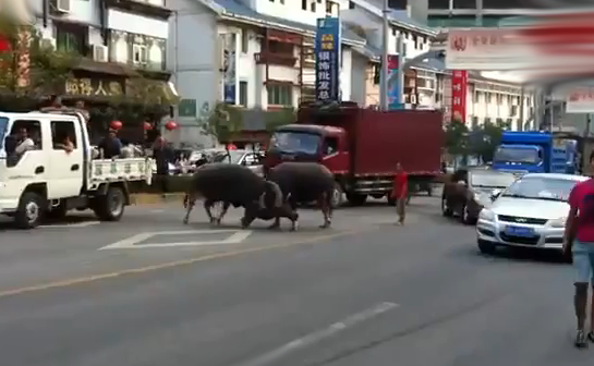 Dos búfalos peleándose en medio de la carretera en China