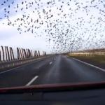 Bandada de pájaros vuelan pegados a la carretera