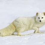 Un zorro ártico le roba un guante a un hombre en Rusia