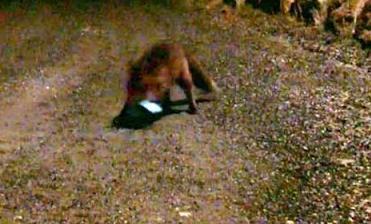 Un zorro roba un iPhone y envía un SMS