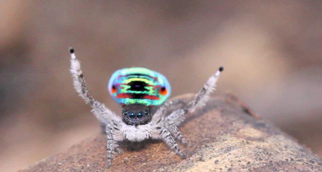 El espectacular ritual de apareamiento de la araña pavo real