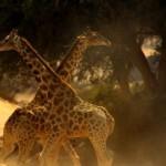 La pelea de jirafas más violenta jamás grabada