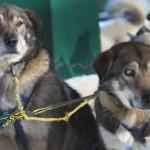 Un perro ayuda a su hermano ciego a correr con el trineo