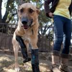 Pay de Limón, un perro que vuelve a caminar después de que unos narcotraficantes cortaran sus patas delanteras