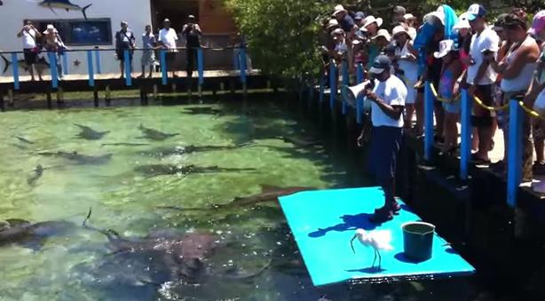 Alimentando a los tiburones gato en el acuario de las islas del Rosario