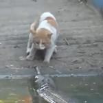 Un gato con un par de huevos logra acojonar a un cocodrilo