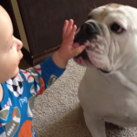 Un bulldog aprovecha las sobras lamiendo la cara del bebé