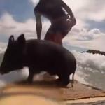 """Un cerdo llamado """"Zorro"""" surfea en las playas de Nueva Zelanda"""