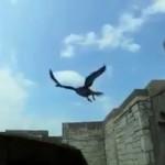 Unos investigadores son atacados por unos halcones cuando intentaban identificar a sus polluelos y devolverlos al nido