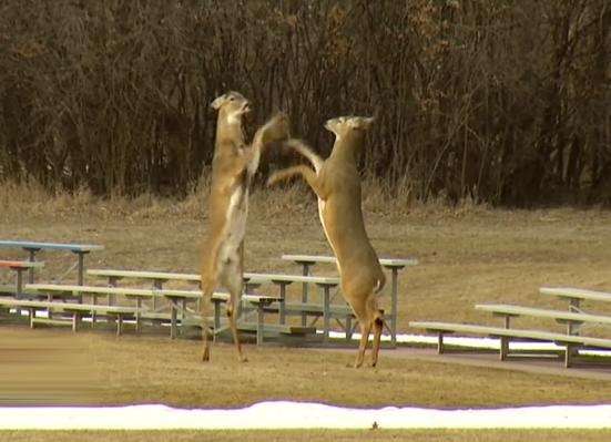 Graban a dos ciervos boxeando en un parque de Dakota del Sur