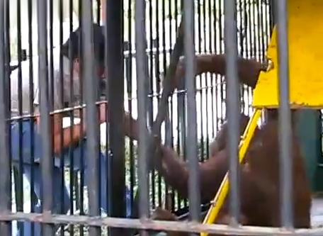 Cuando un orangután quiere tu camiseta, dásela