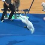 Un perro que da volteretas hacia atrás como si fuera un gimnasta