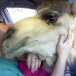 Un camello intenta comerse la cabeza de una niña