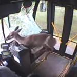 Un ciervo atraviesa el parabrisas de un autobús y sale prácticamente ileso