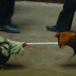 Un gallo de pelea mata a su gallero cuando éste intentaba matar al animal después de perder una pelea