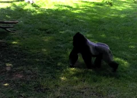 Un gorila les tira caca a los visitantes del zoo