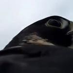 Un halcón atrapa un pato en pleno vuelo (Vídeo desde cámara subjetiva)