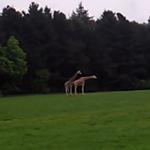 Apareamiento entre jirafas fallido
