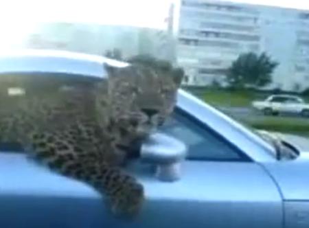 Circula con un leopardo asomado por la ventanilla de su Audi TT