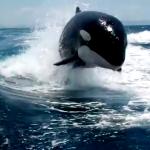 Un grupo de orcas persiguiendo a una lancha de turistas en La Paz, México