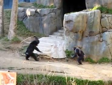 Pelea de chimpancés en el zoológico de Los Ángeles