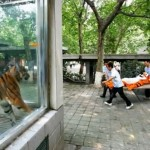 Un tigre mata a la empleada de un zoológico del Reino Unido ante la mirada de cientos de visitantes