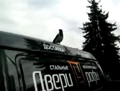 Un cuervo cree que es un gallo