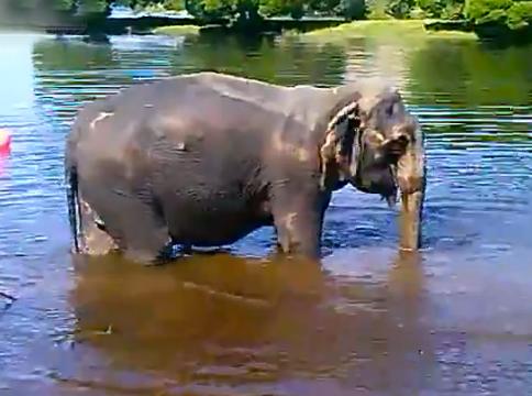 Un elefante sufre un ataque al corazón y se ahoga
