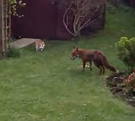 Dos gatos ahuyentan a un zorro del patio trasero de su casa