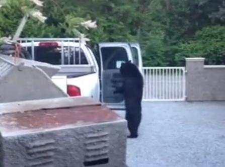 Un oso abre la puerta trasera como una persona