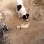 Un perro entierra a su cachorro muerto