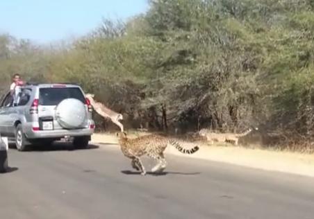 Un impala se salva de ser devorado por los guepardos saltando a una camioneta
