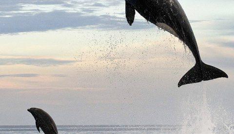 Impresionantes fotografías de una orca saltando 4 metros fuera del agua para cazar a un delfín