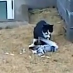 Una paloma finge su muerte y engaña hábilmente a un gato