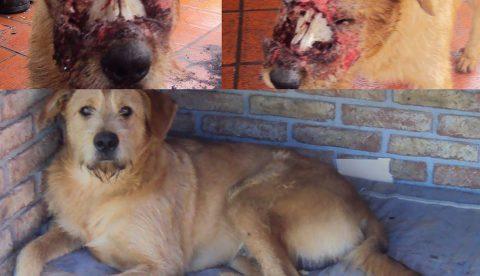 Tigre, el perro que fue atacado a machetazos, se recupera de sus heridas satisfactoriamente