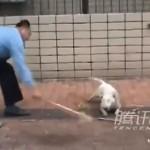 Un policía chino mata cruelmente a palazos a un perro bull terrier que estaba suelto por la calle