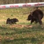 Royal Canin patrocina una pelea entre un oso encadenado y varios perros en Ucrania (vídeo)