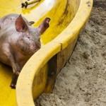 Un granjero holandés instala un tobogán para hacer a sus cerdos más felices