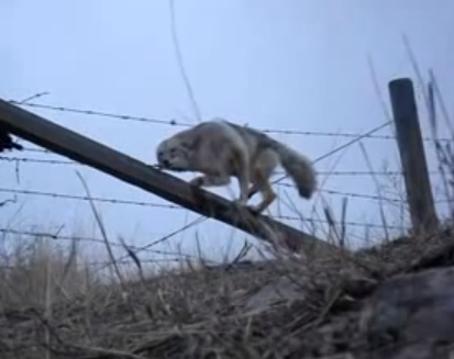 Un hombre libera a un coyote atrapado en una cerca de alambre de púas