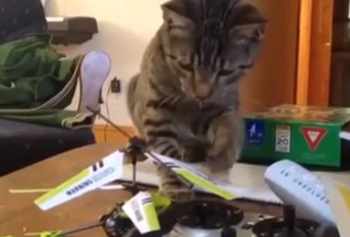 Un helicóptero RC, el peor enemigo de este gato