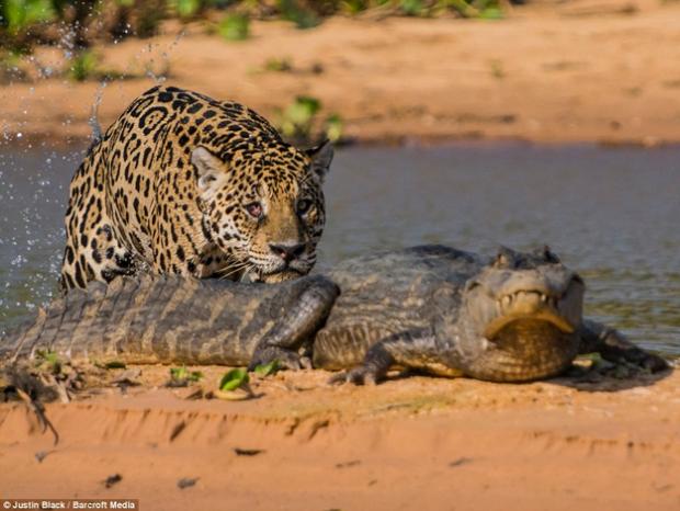 Jaguar cazando caimán