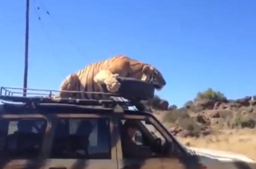 Un tigre se duerme encima del coche