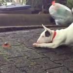La primera vez que un cachorro de bull terrier ve un cangrejo